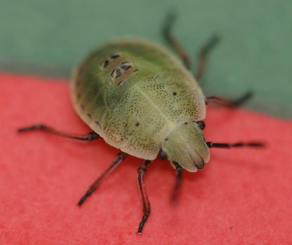 Little Black Bugs In Kitchen Cabinets: The Backyard Arthropod Project