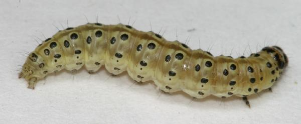 Gray Caterpillars That Are Big: Light Green Caterpillar With Black Spots
