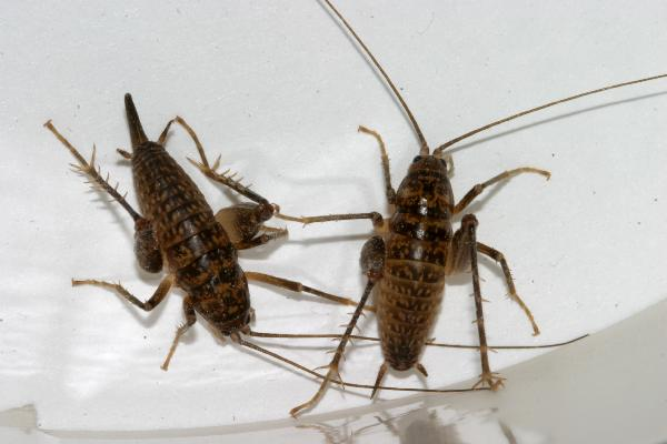 how to tell if a cricket is male or female