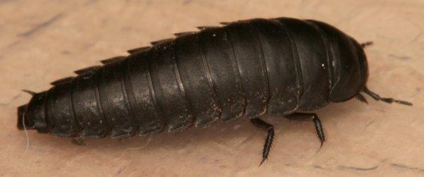 Black Carrion Beetle Larva And Adult The Backyard Arthropod Project