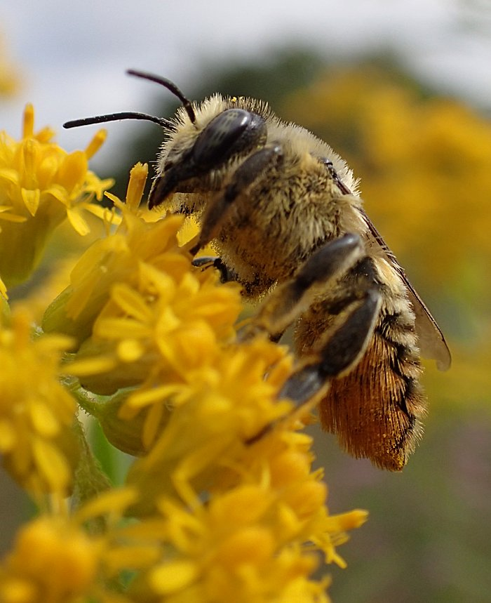 Bee On Goldenrod | The Backyard Arthropod Project