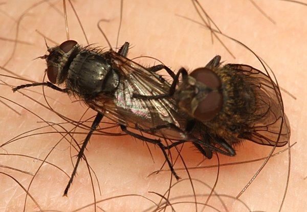 Mating Muscid Flies | The Backyard Arthropod Project