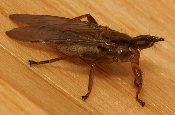 Louse Fly | The Backyard Arthropod Project