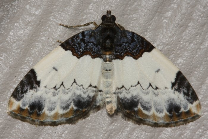 White Ribboned Carpet Moth The Backyard Arthropod Project