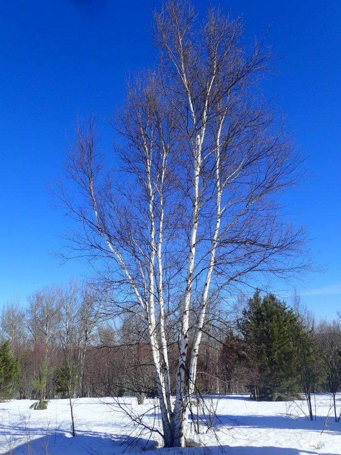 Paper Birch | The Backyard Arthropod Project
