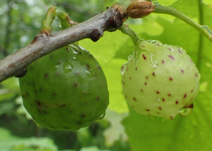 Oak Tree Fruit Part - 20: They Look Like A Fruit Of Some Sort, But They Arenu0027t. The Fruit Of An Oak  Tree Is An Acorn, Which Looks Nothing Like These.